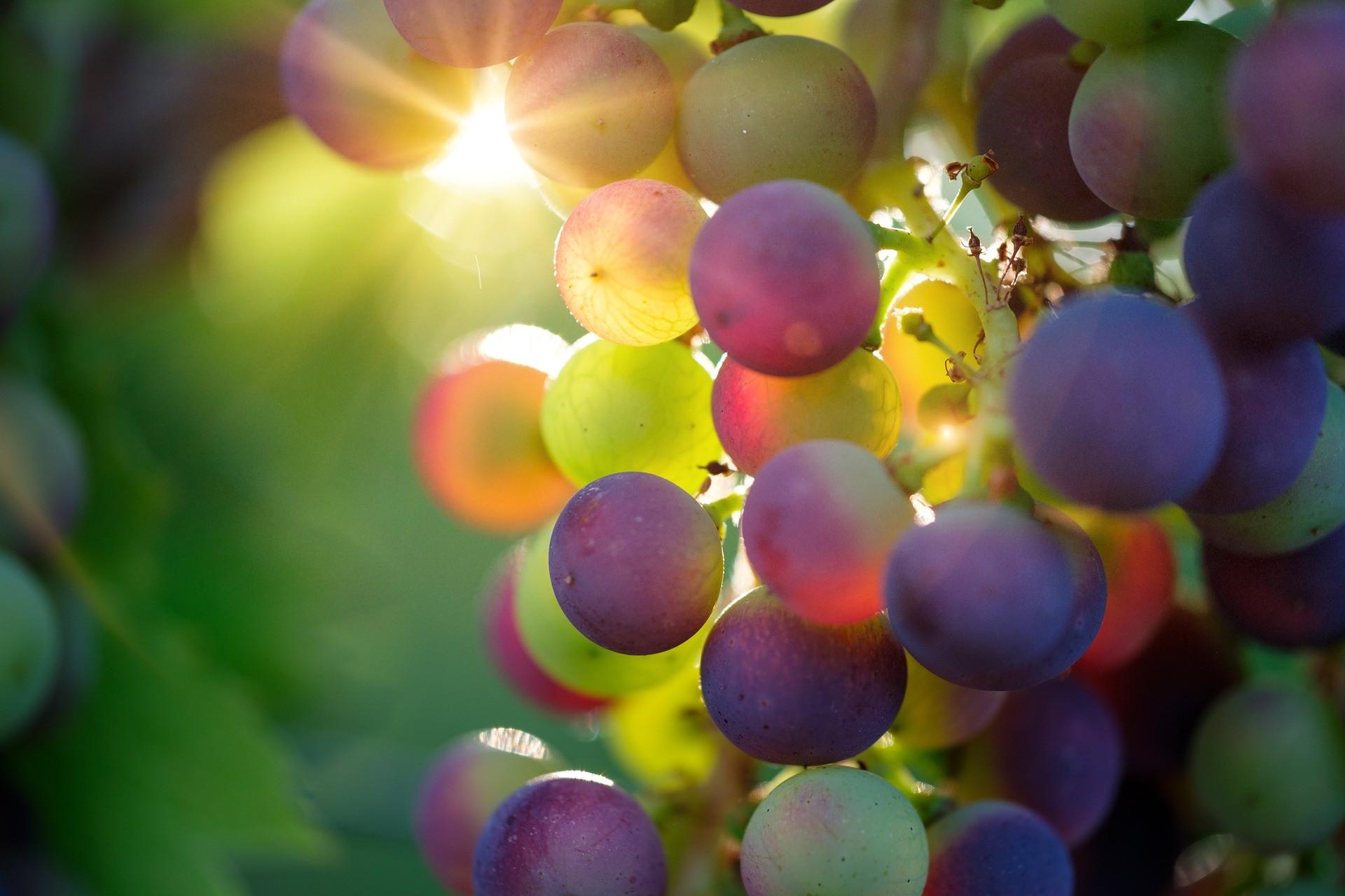 Castas de uvas portuguesas: três tintas e três brancas a conhecer!